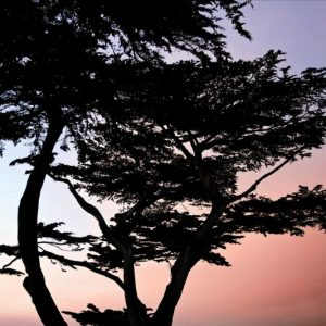 Cypress Silhouette I