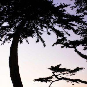 Cypress Silhouette II