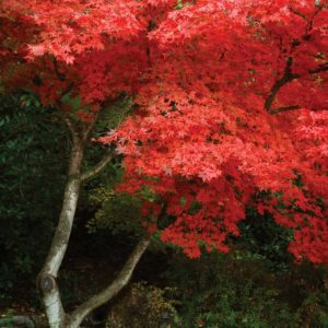 Maple Beauty I