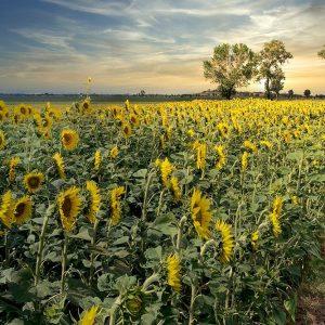 Cotona Sunflowers #3