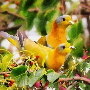 Two Yellow Pigeons
