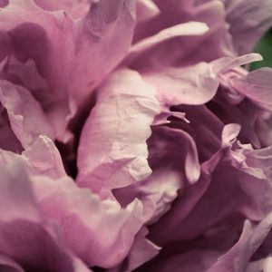 Pink Peony In Morning