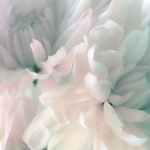 Chrysanthemum Pink and Cyan I