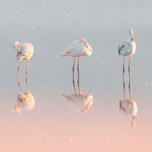 Three flamingos ...