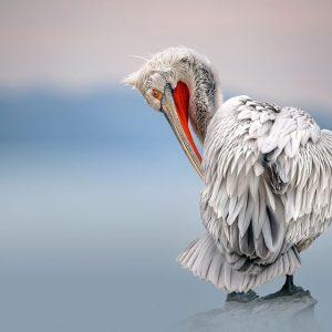 Dalmatian pelican at dawn