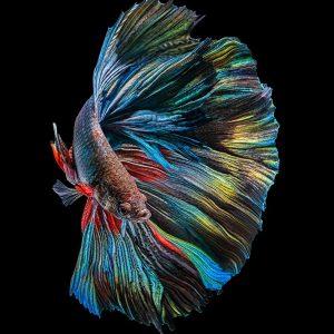 The  Betta Fish