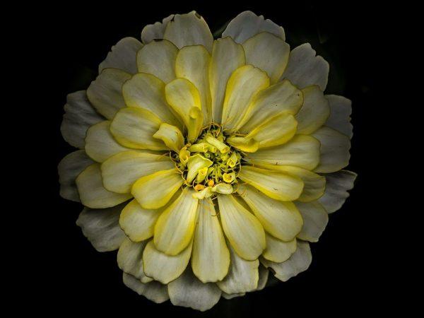 Backyard Flowers Yellow 86