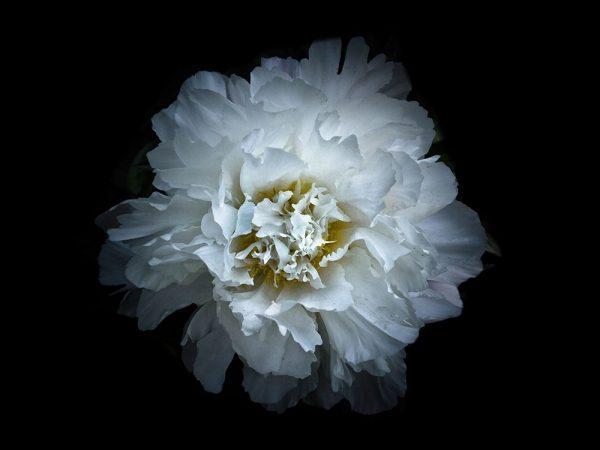 Backyard Flowers White 90
